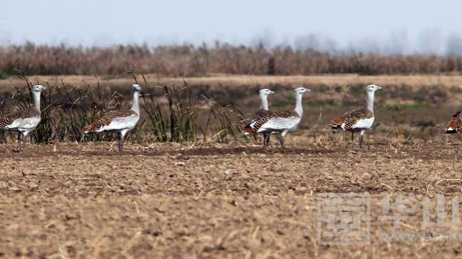 50只国家一级重点保护动物大鸨现身大荔黄河湿地