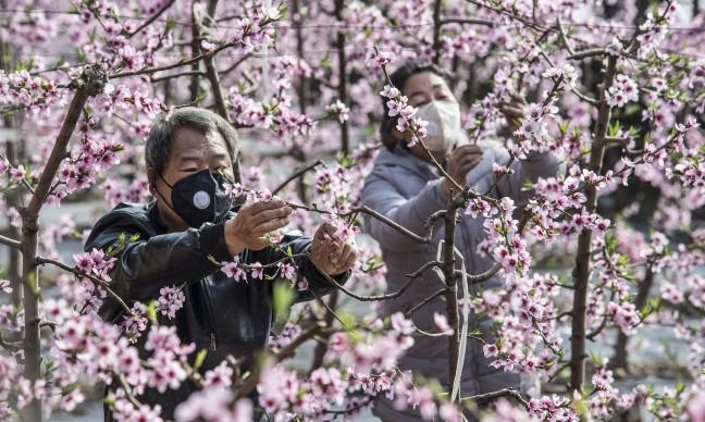 秦岭山下春来早