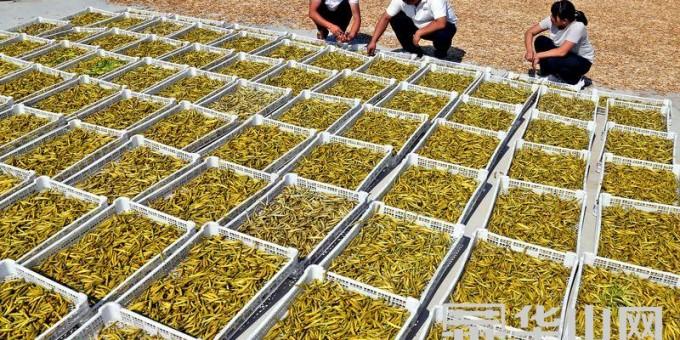 大荔苏村镇成为陕西最大的黄花菜产业基地 产值近两亿