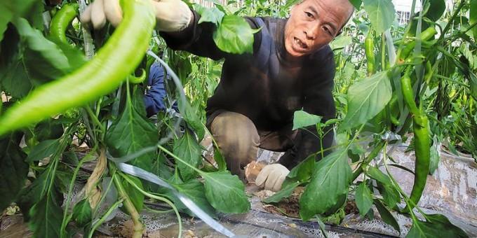 富平张桥镇农民种出巨型辣椒每亩可卖到7万元