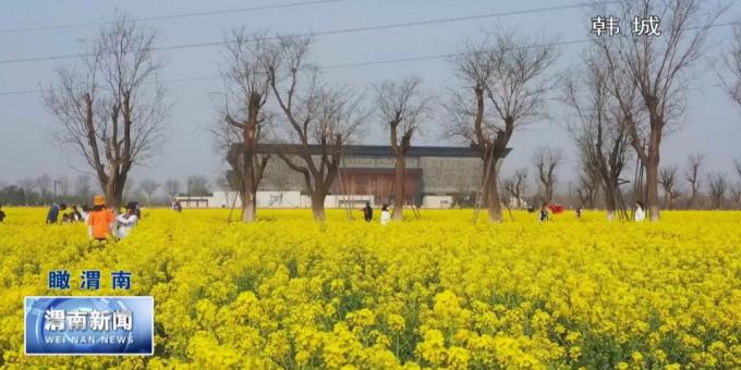 渭南:油菜花开春意浓 丛间蜂舞采蜜忙