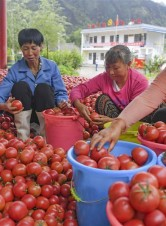 华州区:秦岭高山西红柿熟了