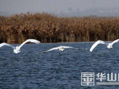 罕见---陕西大荔朝邑湖发现三只珍稀的疣鼻天鹅