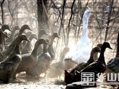 """大荔官池退伍军人朱佳华""""沙窝窝""""果树林放养鸡鸭鹅"""