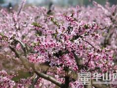 """大荔韦林仓溪村:""""在那桃花盛开的地方"""""""