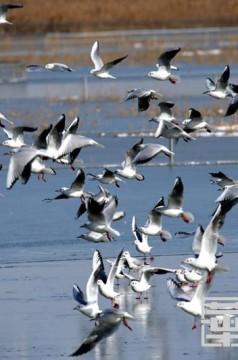 """大荔:大雪过后27万亩黄河湿地上万候鸟""""满天飞"""""""