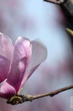 初春花开 同洲湖岸紫荆红梅玉兰摇曳生姿