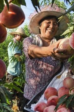 陜西華州:產業發展帶動脫貧增收