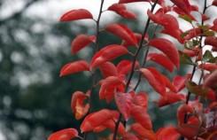 大荔段家垣区满山柿叶一片红