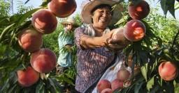 陕西华州:产业发展带动脱贫增收