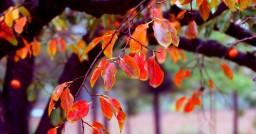 初冬賞景好去處-----段家垣柿葉紅了