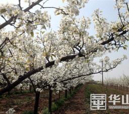 初春的大荔 千树万树梨花开