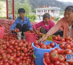 華州區:秦嶺高山西紅柿熟了