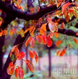 初冬赏景好去处-----段家垣柿叶红了