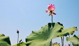 夏日到渭南桃花源景区赏荷