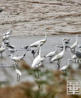 """大荔黃河濕地:又到""""百鳥朝鳳""""時"""