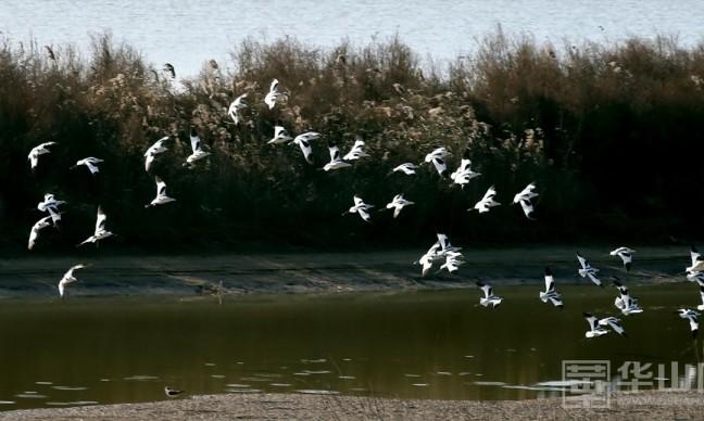 数万候鸟重返大荔黄河湿地越冬