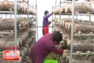 """《新春走基层》集体经济助脱贫 灵阳""""老树""""发新芽"""