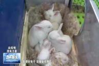 蒲城:肉兔繁育正当时 防疫生产两不误