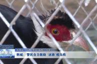"""韩城:警民合力救助""""迷路""""褐马鸡"""