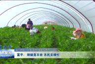 富平:辣椒喜丰收 农民采摘忙
