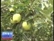 富平早熟苹果新鲜上市 首批销往俄罗斯