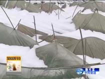 华州区:大雪压塌大棚 农民受损严重