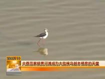 大荔范家镇黄河滩成为大批候鸟越冬栖息的天堂