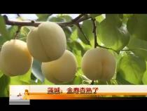 蒲城:金寿杏熟了