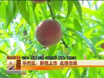 华州区:鲜桃上市 走俏市场