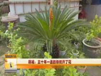 韩城:三十年一遇的铁树开了花
