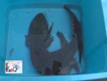 华阴:村民废弃沙坑发现野生娃娃鱼 及时救助受表扬