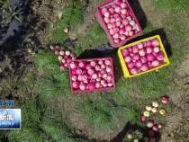 又是一年丰收季 白水55万亩苹果喜获丰收