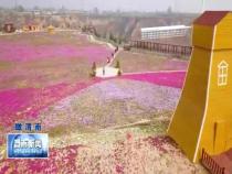韓城:芝櫻花海迎春綻放