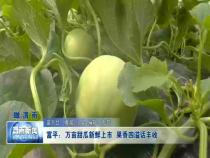 富平:万亩甜瓜新鲜上市  果香四溢话丰收