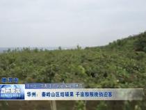 华州:秦岭山区结硕果 千亩猕猴桃俏迎客