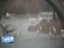 黃河濕地洽川段:近百只灰鶴翩然起舞 繪制生態美景