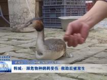 韩城:濒危物种鸊鹈受伤 救助后被放生