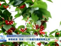 娇艳欲滴 华州1100亩露天樱桃新鲜上市