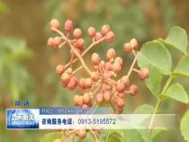 韩城急需10万名花椒采摘工