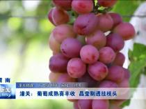 潼关:葡萄成熟喜丰收 晶莹剔透挂枝头