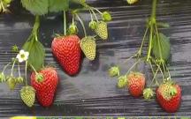 蒲城县城关镇冯家村的草莓红了
